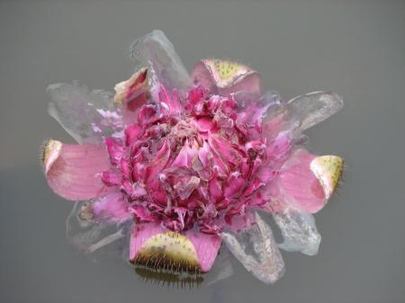 Flor da Vitória Régia
